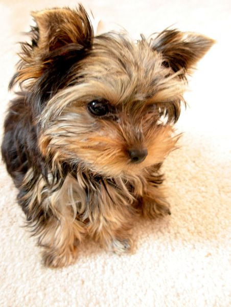ёрки собаки фото мини